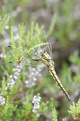 雌性动物,黑色,撇水蜻蜓,野生动物,翅膀,自然美,人的眼睛,尾巴,蜻蜓,夏天