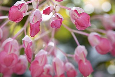 秋海棠,自然,季节,清新,图像,花朵,美,美国,自然美,花瓣