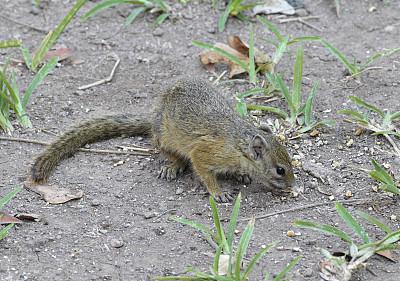 树松鼠,史密斯的布什松鼠,万盖,野生动物,狩猎动物,图像,松鼠,英国,津巴布韦,无人