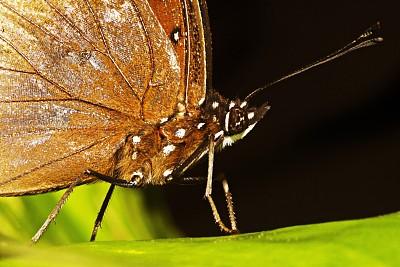 叶子,蝴蝶,黑色,正下方视角,闭着眼睛,草坪,人工饲养动物,环境,泰国,蝴蝶园