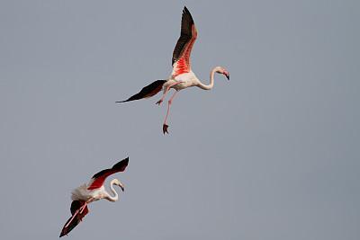 粉色,两只动物,非凡的,火烈鸟,卡马尔格,罗讷省,欧洲,秋天,法国,图像
