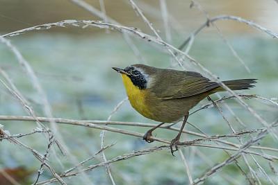 雄性动物,黄喉地莺,自然,野生动物,图像,加利福尼亚,公园,一只动物,北美歌雀,哺乳纲