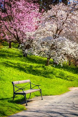 公园长椅,樱桃树,鲜花盛开,草坪,瑞典,长椅,公园,草,春天,花园路