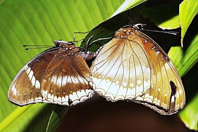 蝴蝶,闭着眼睛,正下方视角,草坪,环境,浪漫,泰国,自然美,生物,动物