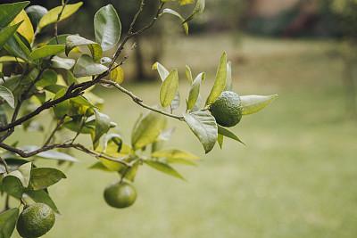 欧锻树,特写,有机食品,精力,拉丁美洲,食品,图像,墨西哥,柑橘属,香橙皮