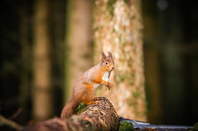 秋天,白昼,平衡折角灯,红松鼠,可爱的,自然,动物主题,红色,欧亚红松鼠,邓弗里斯盖洛韦