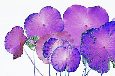 底片,荷花,叶子,图像技术,草坪,清新,环境,泰国,色彩鲜艳,自然美