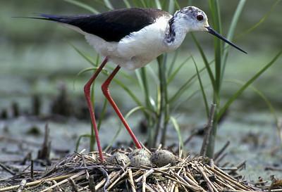 黑翅长脚鹬,动物的巢,自然,图像,一只动物,野外动物,池塘,卵,鸟类,无人