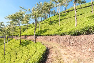 茶树,印度,慕那尔,土路,喀拉拉邦,活力,农业,绿茶,清新,环境