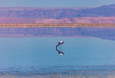火烈鸟,自然美,阿塔卡马沙漠,倒影池,野生动物,一只动物,鸟类,湖,水生动植物,泻湖