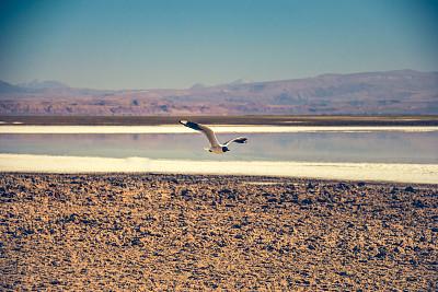湖,野外动物,燕子,阿塔卡马沙漠,图像,宏伟,鸟类,无人,旅游目的地,阿塔卡马大区