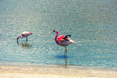 火烈鸟,自然美,阿塔卡马沙漠,湖,野生动物,鸟类,两只动物,水生动植物,泻湖,沙漠