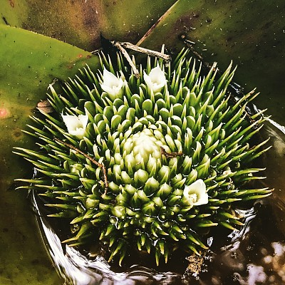 自然,凤梨科植物,贡献,图像,美,多色的,无人,植物,巴西,户外