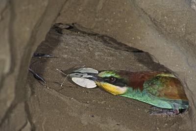 动物的巢,食蜂鸟,地铁,地下的,自然,黄喉蜂虎,图像,野外动物,鸟类,无人