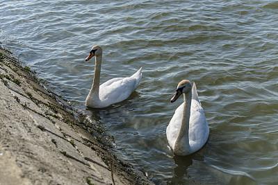 白色,白昼,天鹅,湖,两只动物,一见钟情,相伴,日落,游泳