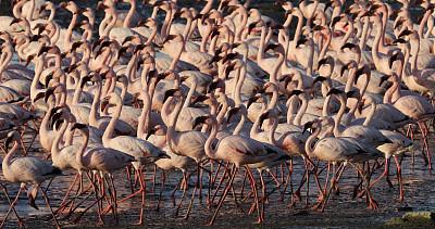 火烈鸟,沃尔维斯湾,湿地,野生动物,大西洋,动物群,鸟类,小火烈鸟,大火烈鸟,动物眼睛