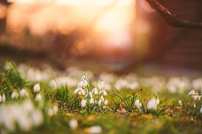雪花莲,在上面,清新,自然美,春天,植物,户外,晴朗,草地,白色
