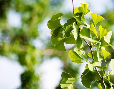 清新,银杏,叶子,特写,健康保健,替代医药,环境,环境保护,枝繁叶茂,色彩鲜艳
