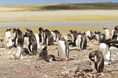 企鹅,自然,福克兰群岛,野生动物,图像,大群动物,野外动物,动物,鸟类,无人
