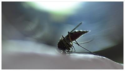 蚊子,虫媒病毒,野兔病,脑炎,黄热病,传染病,自然,图像,水平画幅,特写