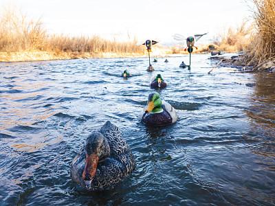 河流,捕猎行为,鸭子,科罗拉多州,西,部分,运动,塑胶,野生动物,母鸡
