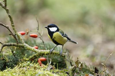 大山雀,自然,红色,野生动物,图像,浆果,一只动物,北美歌雀,鸟类,无人