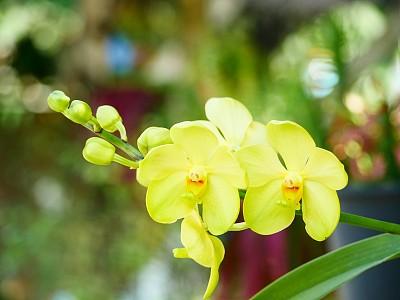 黄色,蕙兰属,清新,热带气候,浪漫,泰国,橙色,自然美,春天,装饰物