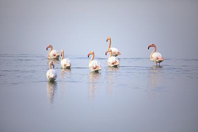 火烈鸟,水,土耳其,环境,色彩鲜艳,自然美,鸟类,小火烈鸟,湖,大火烈鸟