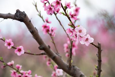 春天,桃花,早晨,季节,农业,食品,植物,水果,户外,天空
