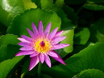 睡莲,一个物体,热带气候,浪漫,泰国,荷花,池塘,梦想,童话故事,植物