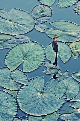 荷花,池塘,蜻蜓,叶子,清新,美术工艺,环境,泰国,枝繁叶茂,自然美