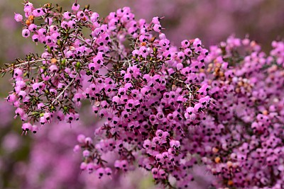 Erica canaliculata, also called channeled heath, hairy gray heather, bull's eye design Erica, Janome Erika (in Japan), black stamen Erica, and black-eyed heath, is an erect growing evergreen shrub, which is native to South Africa. It is a flowering plant, with large sprays of pink flowers with black stamen which bloom in winter and spring (December-March).