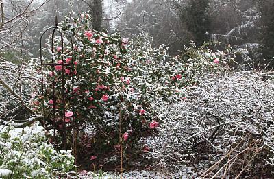 雪,茶花,粉色,环境,图像,天气,英国,无人,园林,户外