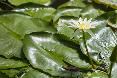 荷花,水生植物,活力,湿透,仅一朵花,水面,禅宗,色彩鲜艳,池塘,自然美