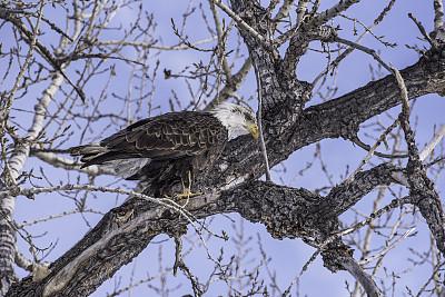 冬天,白头鹰,美国中西部地区,脊椎动物,鸟类,人的眼睛,鹰爪,户外,白色,黄色
