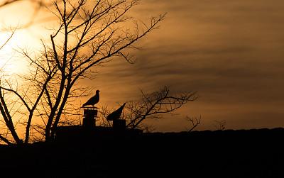 鸽子,云,平衡,动物群,自然美,鸟类,春天,动物习性,舞蹈,屋顶