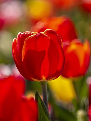郁金香,自然,季节,清新,垂直画幅,图像,花朵,美,自然美,花瓣