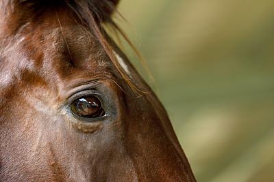 马,特写,动物眼睛,圣伯纳犬,看风景,法里尔,有蹄哺乳动物,肖像,马属,哺乳纲