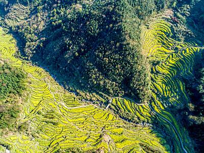 中国,芸苔,田地,航拍视角,农业,单一栽培,视角,云景,直升机拍摄,云
