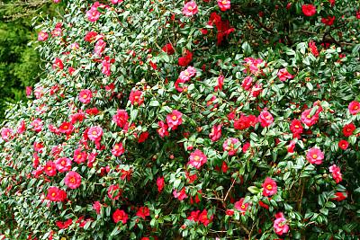 茶花,日本,白色,红色,粉色,清新,一月,仅一朵花,二月,自然美