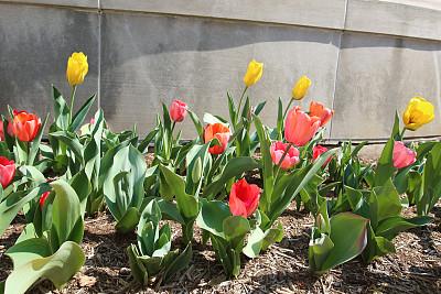 郁金香,春天,浪漫,公园,花的组成部分,园林,植物,户外,园艺,草地