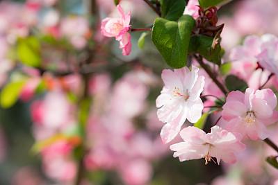 自然美,日本,绘画艺术品,清新,垂枝日本早樱,吉野樱花,春天,3到4个月,樱桃树,樱花