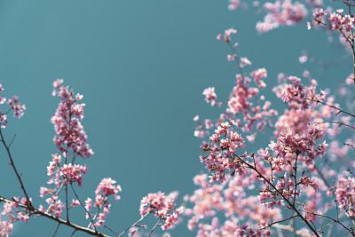 背景,天空,粉色,海洋,品红色,自然美,柔和色,春天,李树,植物