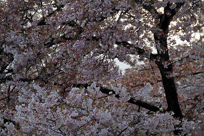 白色,动物肢和翼,自然,温哥华,季节,粉色,鲜花盛开,图像,加拿大,枝