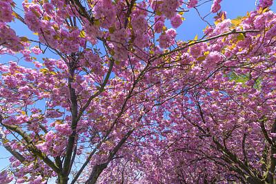 樱桃树,白昼,粉色,自然美,春天,浪漫,3到4个月,植物,户外,晴朗