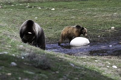 注视镜头,棕熊,幼兽,恐怖,哺乳纲,怀俄明,动物,户外,草地,看