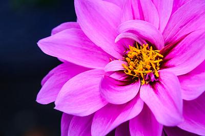 大丽花属,粉色,清新,仅一朵花,色彩鲜艳,自然美,春天,植物,夏天,户外