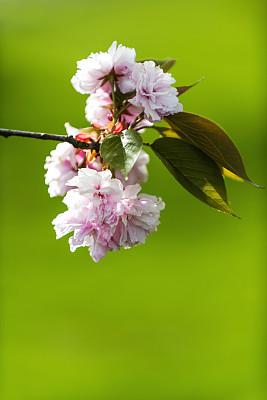 粉色,春天,花朵,支流,活力,背景分离,李树,植物,李子,户外