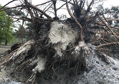 松树,被连根拔出,深的,在底端,山脊,风,环境,天气,暴风雨,摩尔人风格