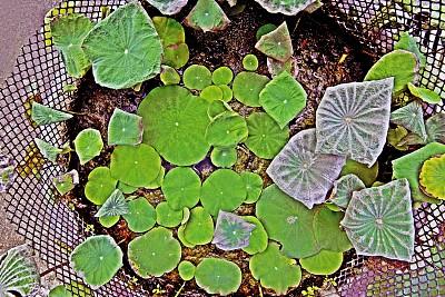 荷花,池塘,叶子,脚踏车,清新,环境,泰国,环境保护,枝繁叶茂,自然美